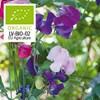 Luktärt, Spencer, bl.färger. Organic