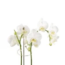 Växtstöd Mini Twiggy Guld 60 cm