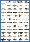 Svenska fiskar affisch