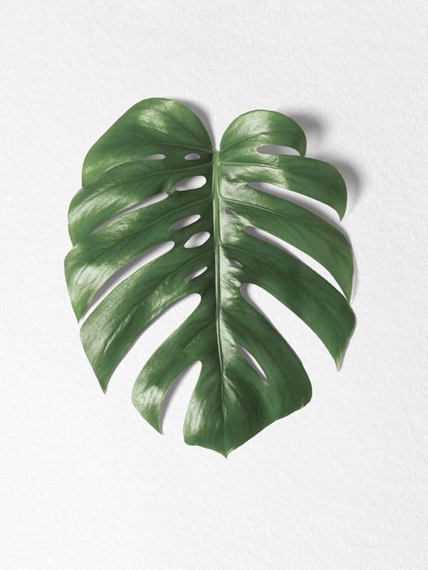 Monstera leaf Poster A4